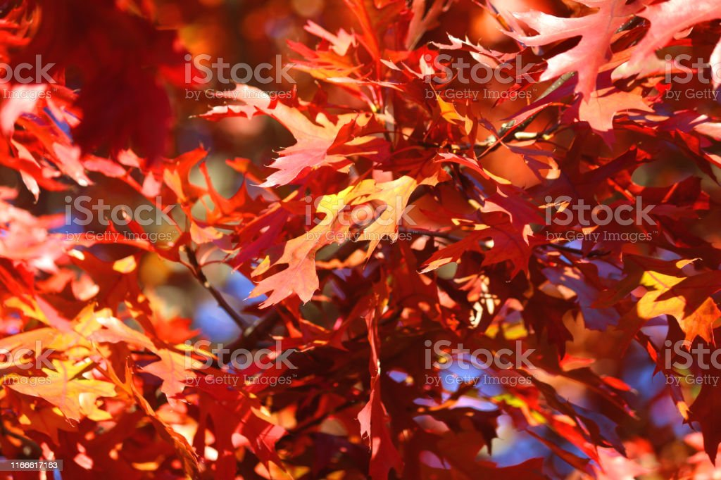 Stock photo of bright red autumn leaves of American oak tree /...