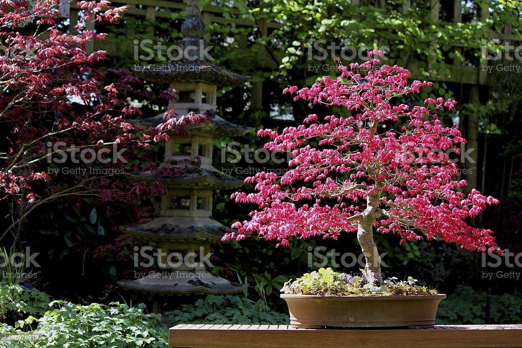 Bild leuchtend roter Fächerahorn bonsai mit Pagode – Foto
