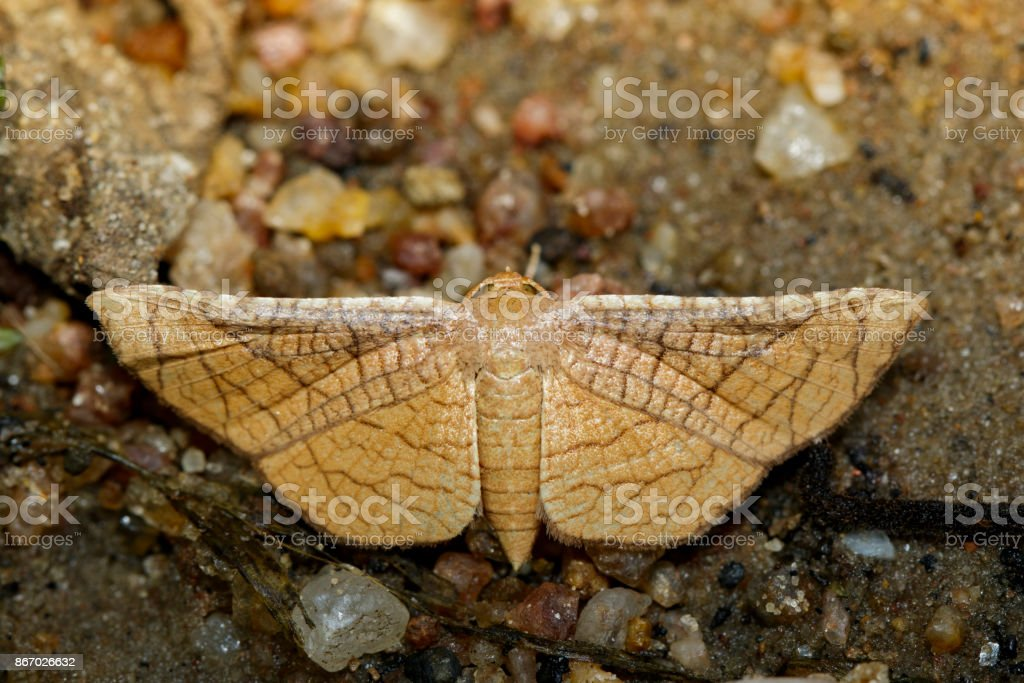 Image of Brown Butterfly Moth (Lasiocampidae) on nature background. Insect, Animal stock photo