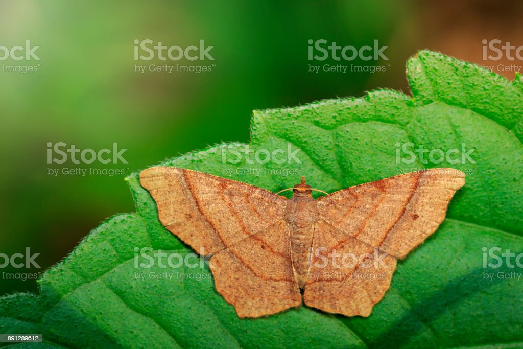 Image of brown butterfly(Moth) on green leaves. Insect. Animal. stock photo