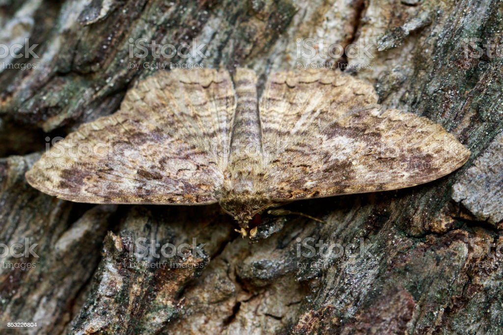 Image of Brown butterfly(Moth) on tree. Insect. Animal. stock photo