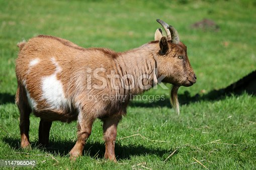 Stock photo of miniature pygmy goat standing outdoors in paddock field of green lawn grass, pygmy goat at farm / petting farmyard animals, eating grass at springtime on sunny day.