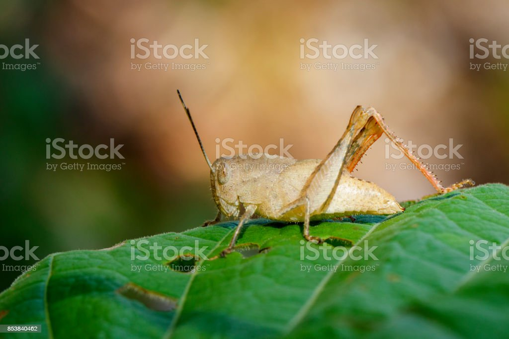 Image of brown grasshopper on a green leaf. Insect. Animal. stock photo