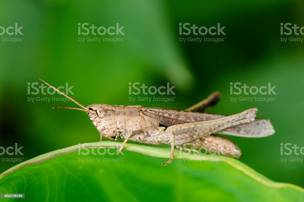 Image of brown grasshopper on green leaves. Insect Animal. Locust (Caelifera., Acrididae) stock photo