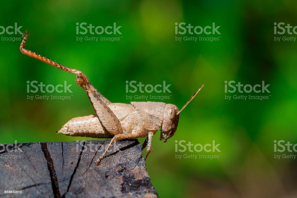Image of brown grasshopper on the timber. Insect. Animal. stock photo
