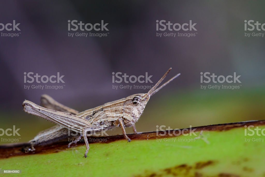 Image of Brown locust on green leaves. Insect. Animal stock photo