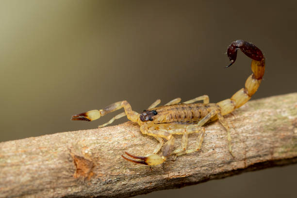 Image of brown scorpion on brown dry tree branch. Insect. Animal. Image of brown scorpion on brown dry tree branch. Insect. Animal. buthidae stock pictures, royalty-free photos & images