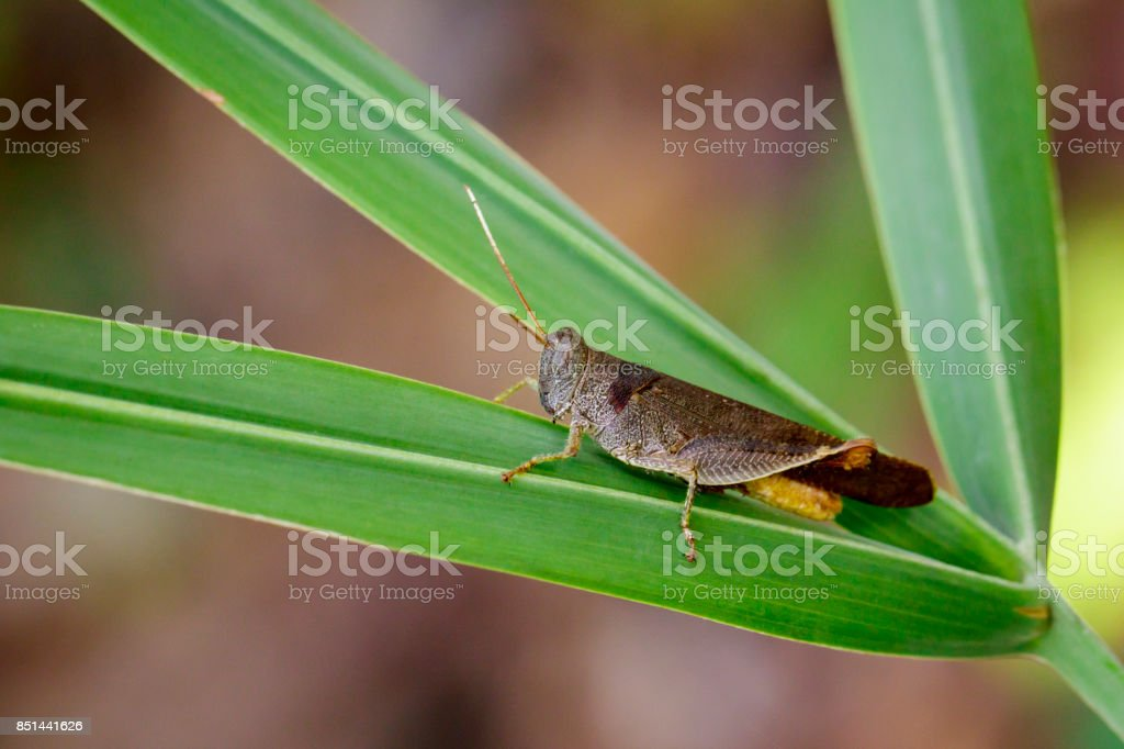 Image of Brown Short-horned Grasshoppers(Acrididae)on green leaves. Insect. Animal. stock photo