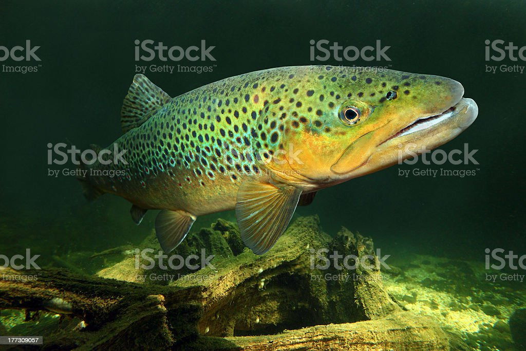 Image of brown trout in its natural environment stock photo
