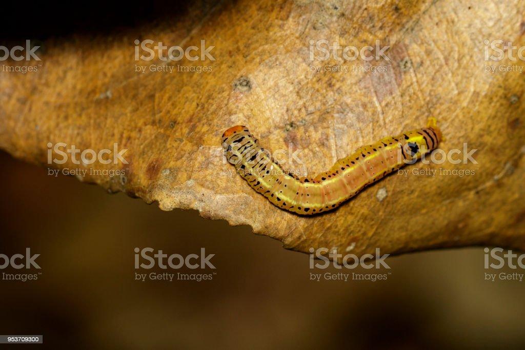 braune würmer