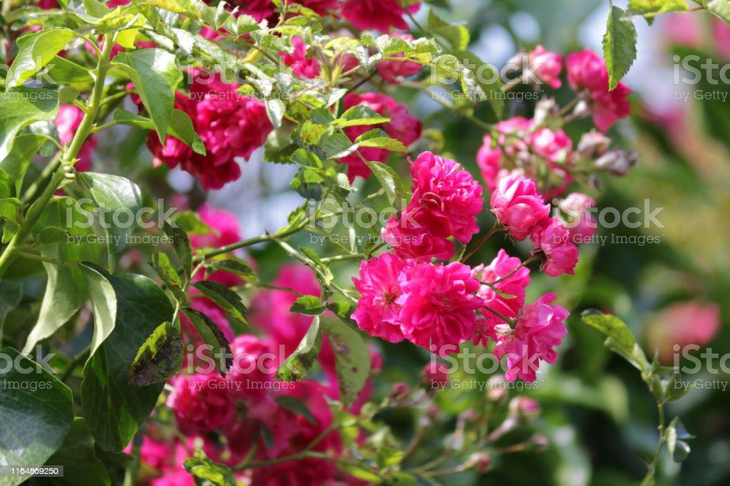 Image Of Bunches Of Small Pink Floribunda Roses Flowers