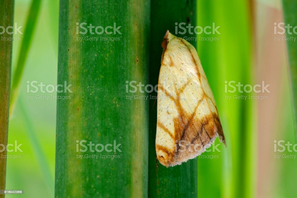 Image of Butterfly Moth (Lasiocampidae)  on green leaves. Insect Animal stock photo