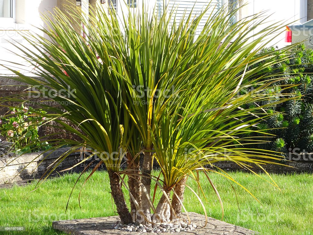 Image of cabbage palm trees / green cordylines growing in clump stock photo