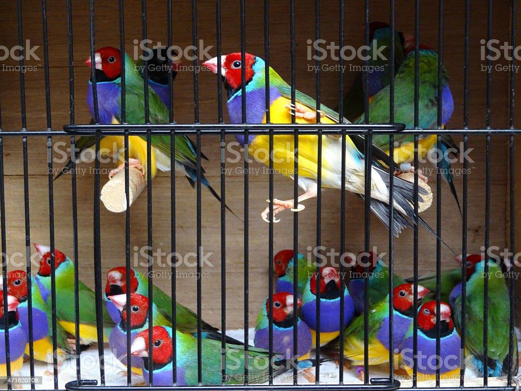 Bild Rahmen Mit Regenbogen Gouldian Finken Rote Kopf Schwanz Vögel ...