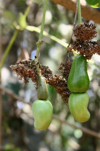 istock Image of cashew tree (Anacardium occidentale) unripe fruit, cashew apple / nut dangling from tropical evergreen branches, Kerala, India 1148253184