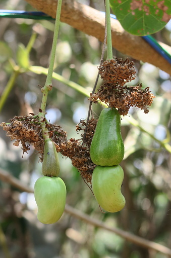 istock Image of cashew tree (Anacardium occidentale) unripe fruit, cashew apple / nut dangling from tropical evergreen branches, Kerala, India 1148253191