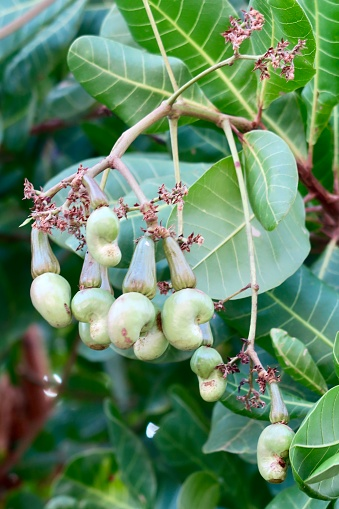 istock Image of cashew tree (Anacardium occidentale) unripe fruit, cashew apple / nut dangling from tropical evergreen branches, Kerala, India 1149040610