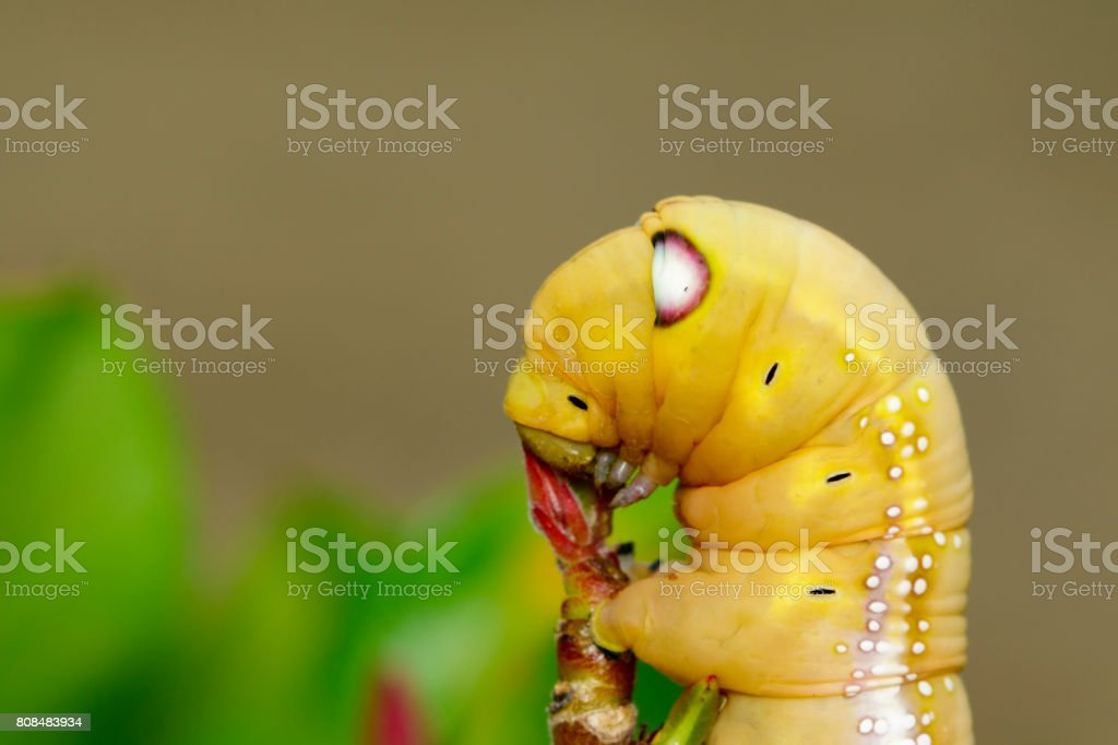 Image of Caterpillar Oleander Hawk-moth (Daphnis nerii) on nature background. Insect Animal stock photo