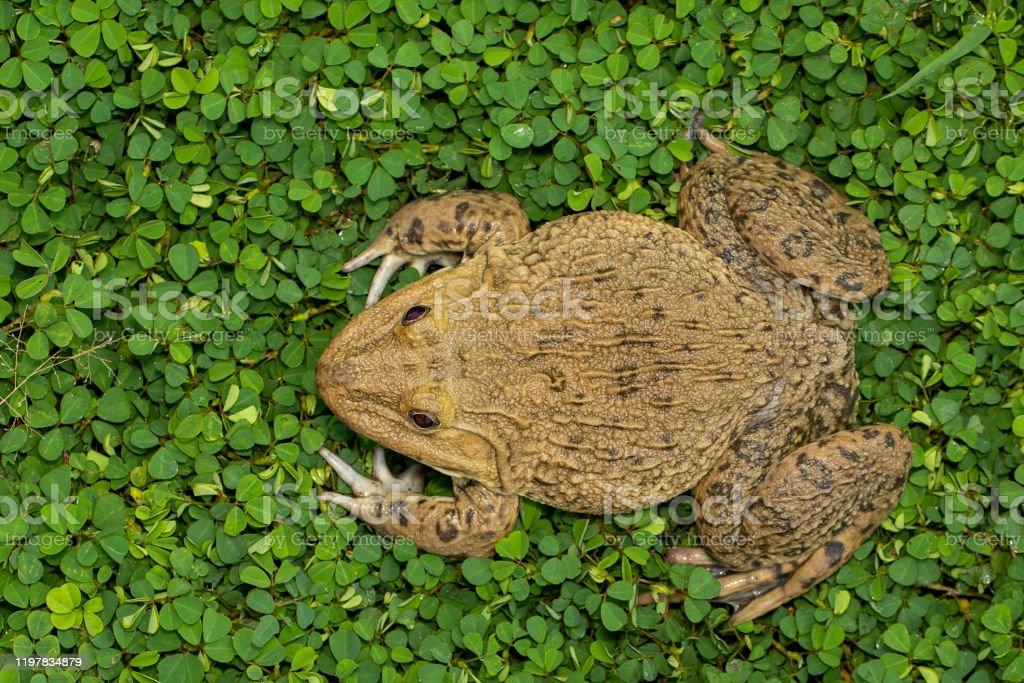 hoplobatrachus rugulosus amphibian