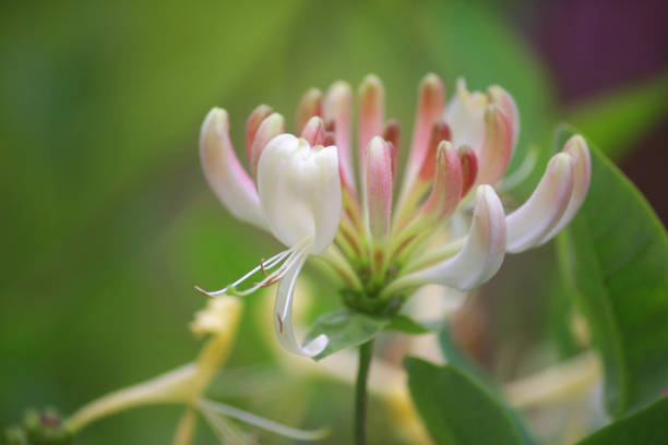 Image of climbing flowering honeysuckle vine plant (lonicera sempervirens) with white and cream flowers, growing trumpet Japanese honeysuckle plants in ornamental flower garden with seasonal blooms and blurred green gardening background / copy space text stock photo