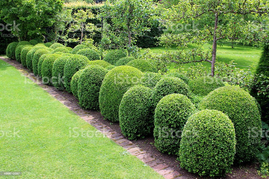 Photo showing an unusual boxwood hedging , where the box plants have...