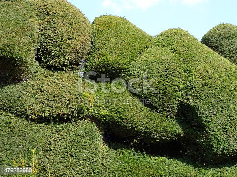 Photo showing an irregular yew hedge (Latin: taxus baccata), which has recently been pruned and finely clipped, to form a series of topiary shapes and undulations, creating an attractive backdrop in a formal landscaped garden.