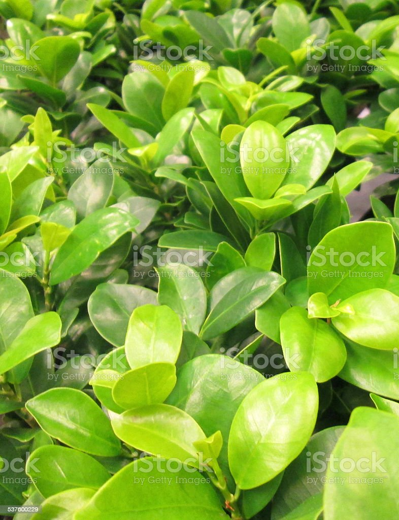Image of clipped fig bonsai houseplants, Ficus microcarpa ginseng leaves stock photo
