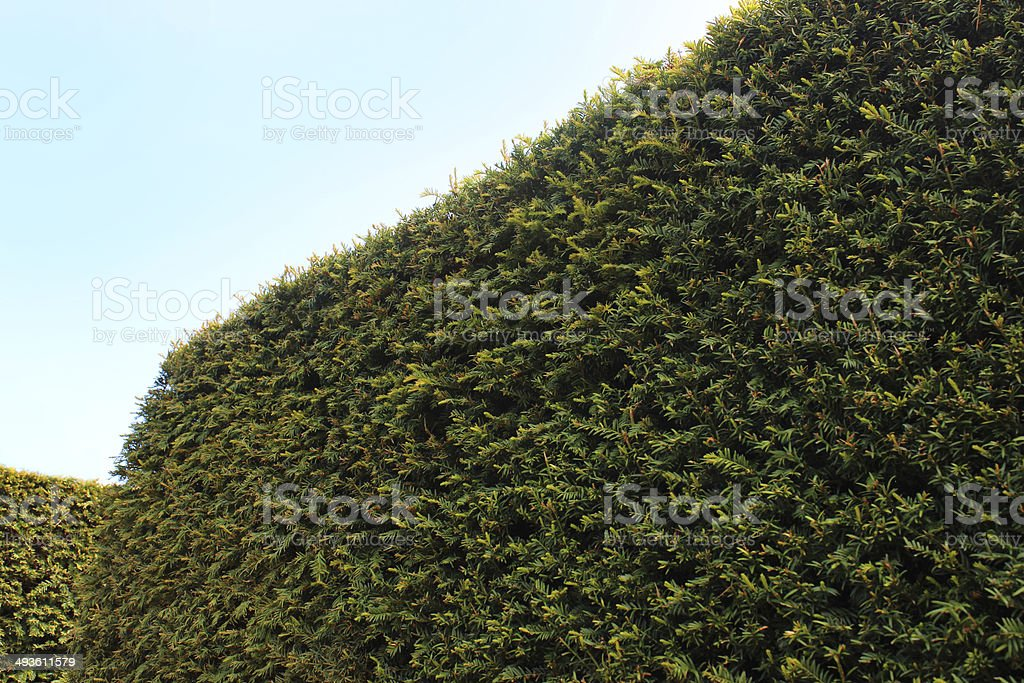 Photo showing a mature and recently clipped yew hedge , blending with...