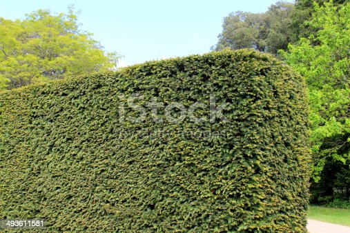 Photo showing a mature and recently clipped yew hedge (taxus baccata), blending with the rest of the ornamental topiary in this formal garden