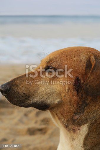 Head shot of wild mongrel living on a sandy beach in Goa.