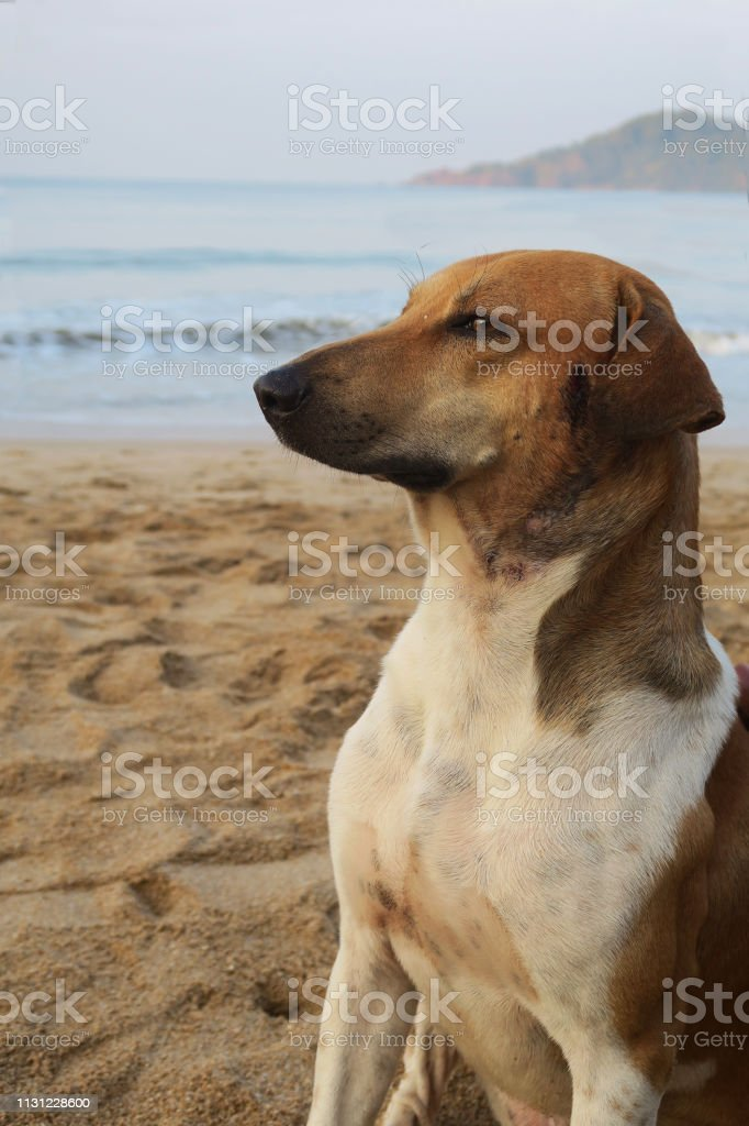 Wild mongrel living on a sandy beach in Goa, alert and looking out...