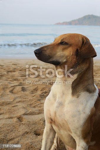 Wild mongrel living on a sandy beach in Goa, alert and looking out for danger.