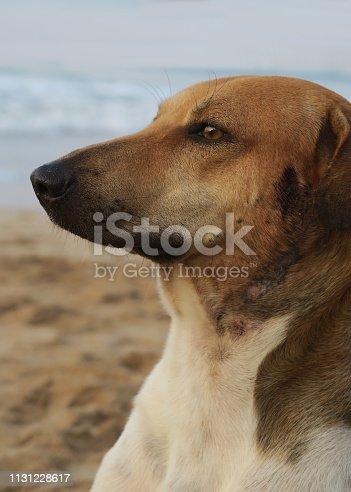 Head shot of wild mongrel living on a sandy beach in Goa.