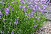 Stock photo of close-up growing pale lilac purple lavender flowers with blurred flower background in summer, flowering English and French lavenders perennial shrubs growing in sunny garden in full sun, Lavandula variety augustifolia officinalis with honey bees