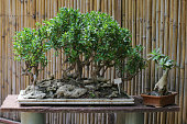 Photo showing closeup of figs / ficus bonsai tree being displayed on concrete plinth / stand in back yard that has been converted into a Japanese garden with bamboo hedge in background