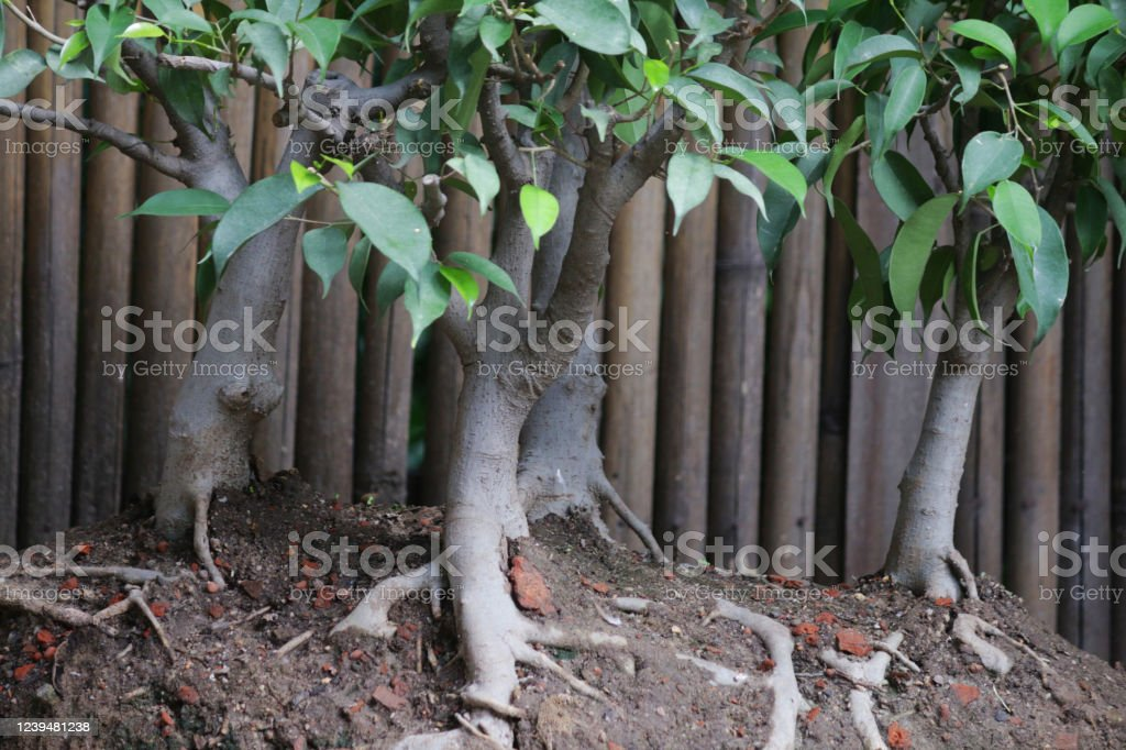 Image Of Closeup Of Figs Ficus Bonsai Tree Group Planting Being Displayed On Concrete Plinth Stand In Back Yard That Has Been Converted Into A Japanese Garden With Bamboo Hedge In Background