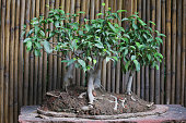 Photo showing closeup of figs / ficus bonsai tree group planting being displayed on concrete plinth / stand in back yard that has been converted into a Japanese garden with bamboo hedge in background