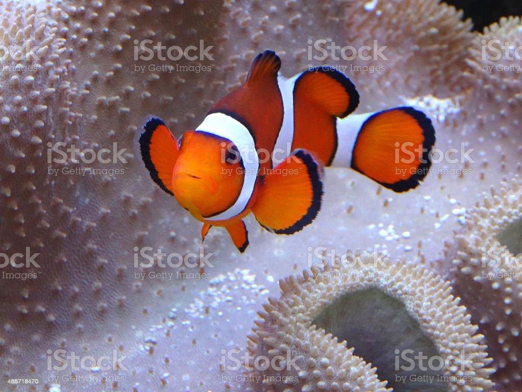 Image of clownish with anemone coral, saltwater marine fish-tank aquarium stock photo