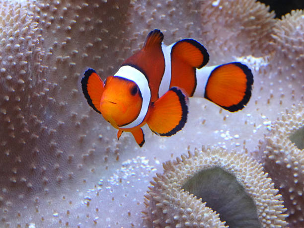 Image of clownish with anemone coral, saltwater marine fish-tank aquarium Photo showing a clownfish pictured close-up, with sea anemone coral forming the background.  This saltwater aquarium is home to many colourful marine fish and sea anemones. anemonefish stock pictures, royalty-free photos & images