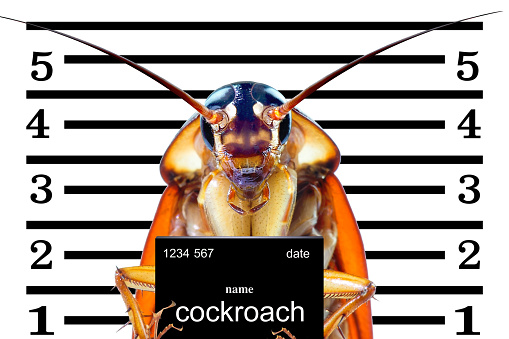 istock Image of cockroaches arrested.The charges against ,Mr cockroaches, invading the home kitchen. concept protection against termites, cockroaches, fleas, agricultural pests. 1057071942