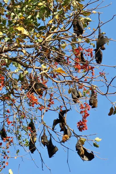 Image of colony of Indian flying foxes / Fruit bats (Pteropus giganteus) roosting in tree canopy during daylight stock photo