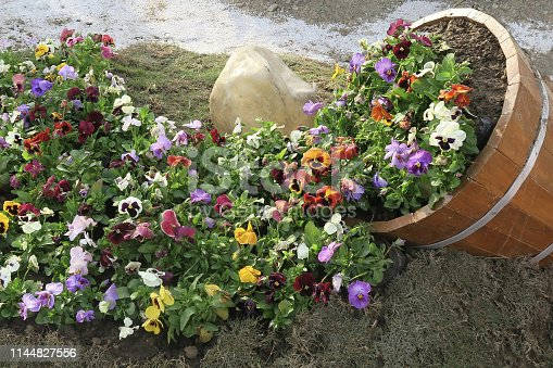 Photo showing a group of colourful flowering pansies, planted as a drift across the summer garden border.  This stock image of pink and purple pansy flowers is shown spilling out of a large reclaimed half wooden barrel cask, rather like it has been purposely tipped over on its side to create a stream of pansies. These annual summer bedding flowers are growing on turf mulch placed on top of the garden soil, which is helping to keep down the annual persistent garden weeds and retain moisture, so that the pansies thrive and bloom all summer long.