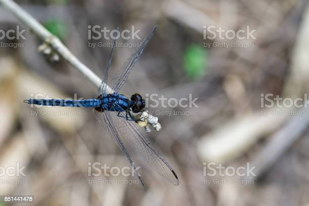 Image of Common blue skimmer dragonfly(Orthetrum glaucum) on dry branches. Insect. Animal