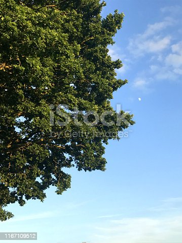 Stock photo of common European English oak tree / Latin name quercus robur in golf course, acorn with oak leaves isolated against blue sky, green lawn grass and trees as background