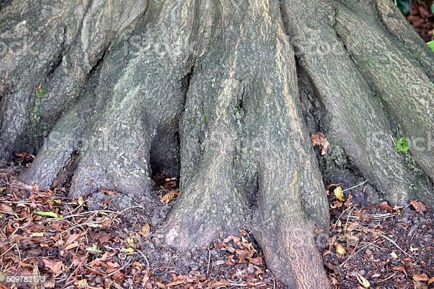 Photo of Image of common hornbeam tree roots / buttress, carpinus betulus