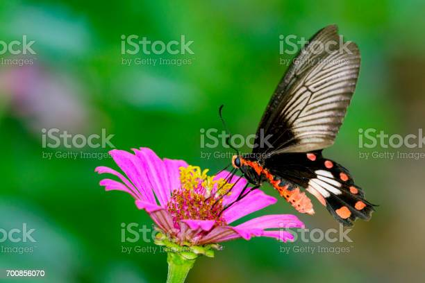 Image of Common Rose Butterfly on nature background. Insect Animal (Pachliopta aristolochiae goniopeltis Rothschild, 1908)