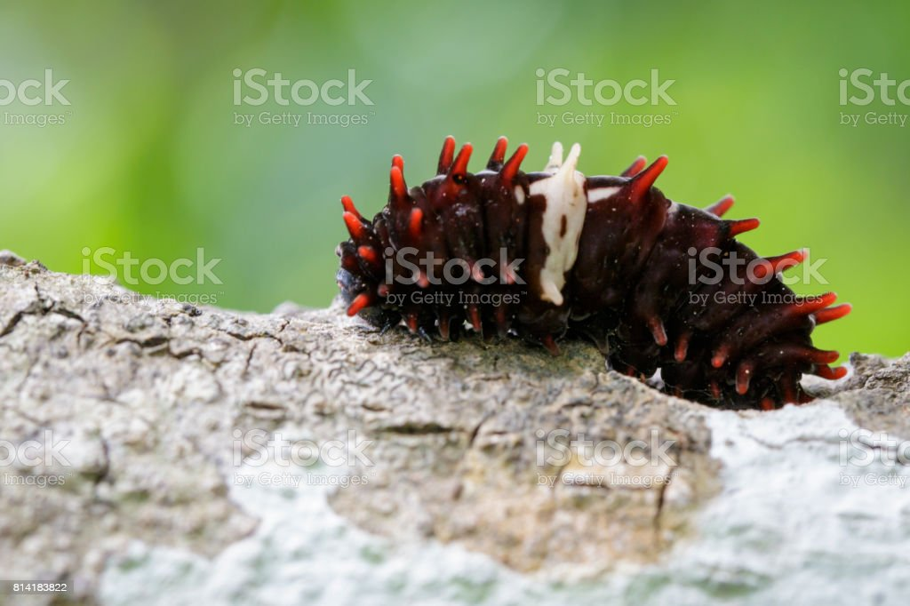 Image of Common rose caterpillar on nature background. Insect Animal