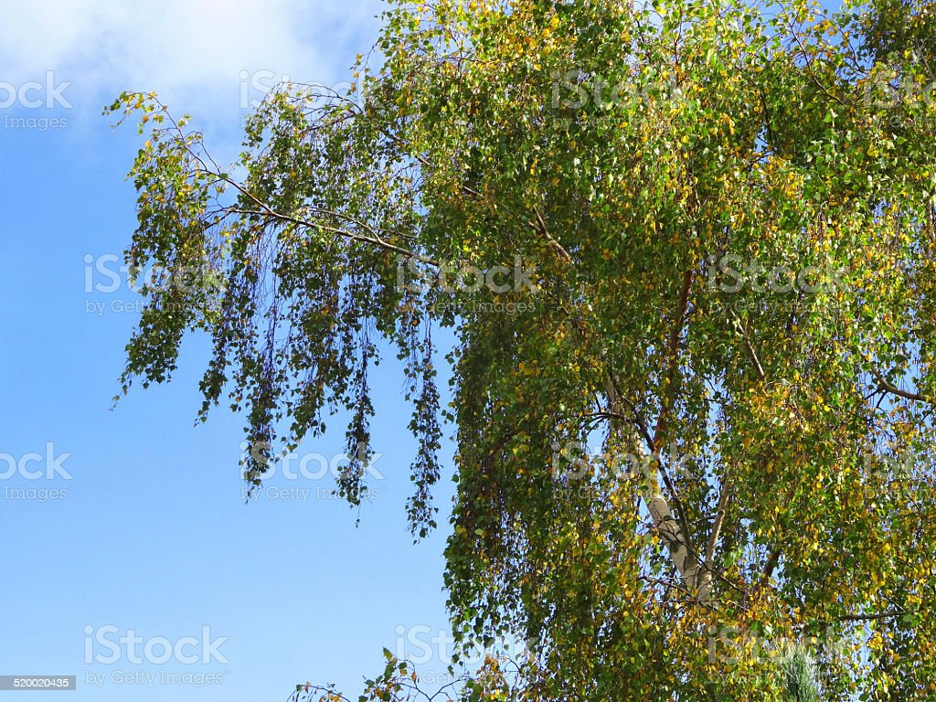 Image of common silver birch, weeping branches / autumn-leaves (Betula Pendula) stock photo