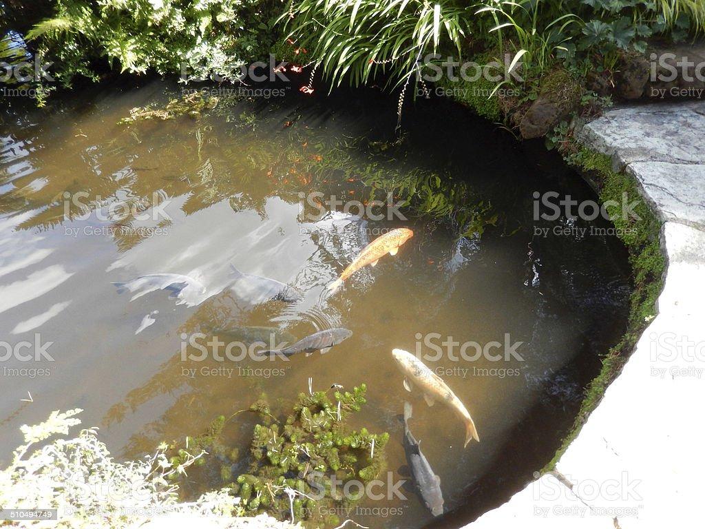 Image De Béton Bassin Du Jardin Avec De Grands Poissons Carpe Koï ...