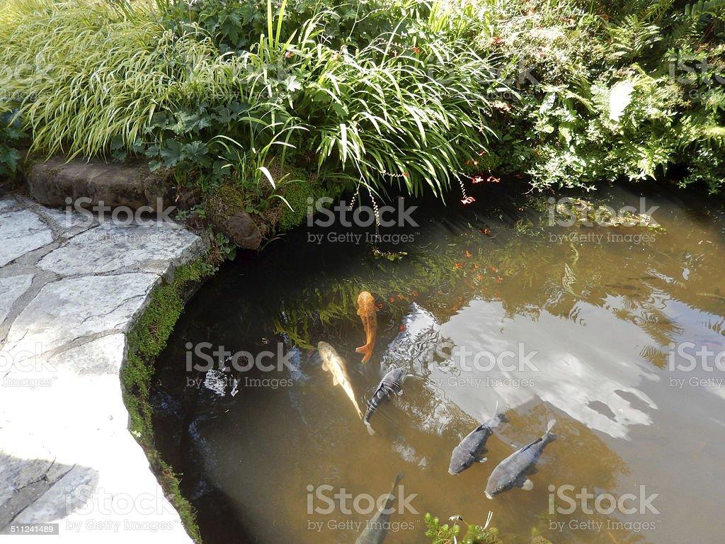 Image of concrete garden pond with large fish, koi carp stock photo